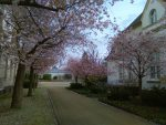 Kirschblüten am Seniorentreff