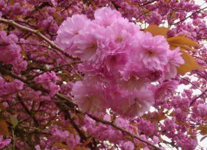 Kirschblüten auf dem Gelände der DBK