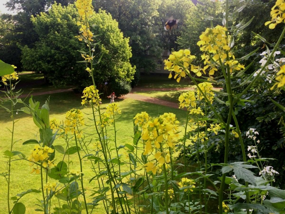 Hummel im Anflug auf eine gelbe Blüte