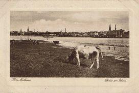 Rinder auf der Mülheimer Heide