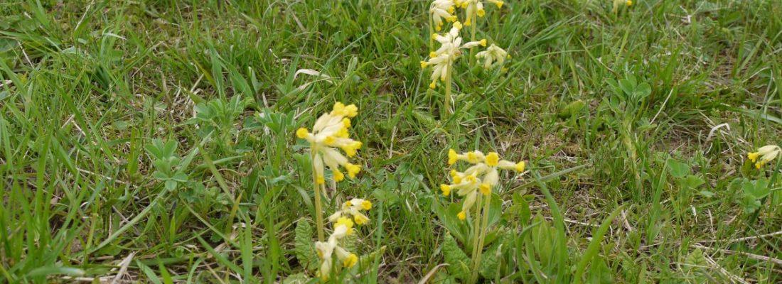 Wilde gelbe Priemeln auf der Wiese