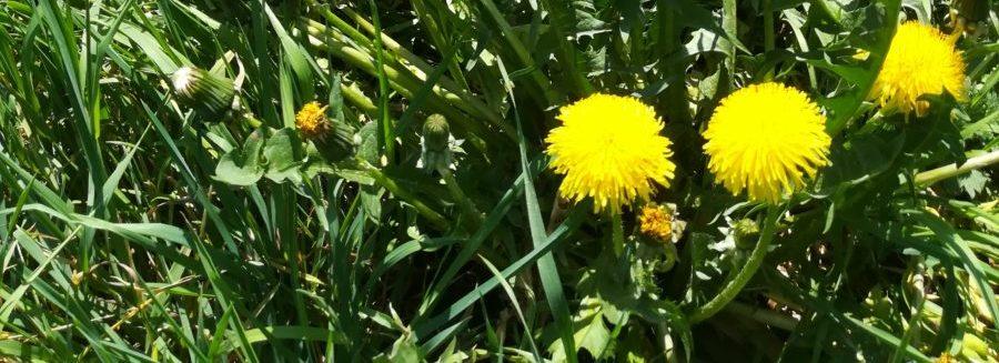 Wiese mit Löwenzahn mit gelben Blüten und Pusteblumen