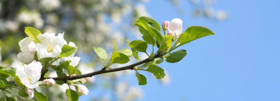 Apfelblüte auf Streuobstwiese