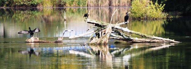 Neckar im Sommer- Vögel brüten im Wasser